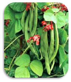 Picture of Runner Bean Relish